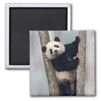 Young Panda climbing a tree, China Square Magnet