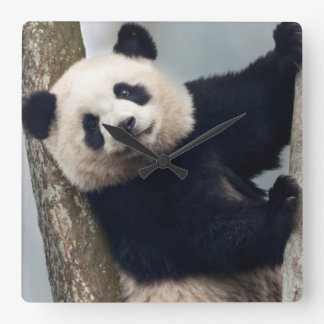 Young Panda climbing a tree, China Square Wall Clock