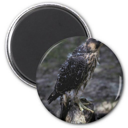 Young Peregrine Falcon Fridge Magnets