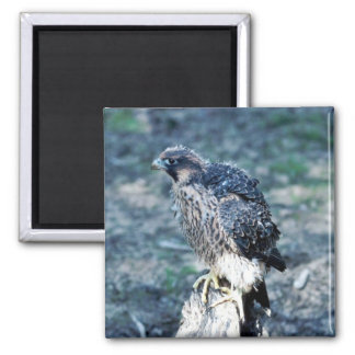 Young Peregrine Falcon Square Magnet