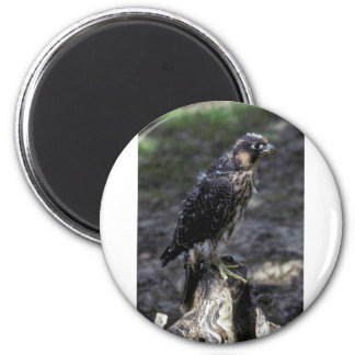 Young Peregrine Falcon Magnets