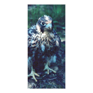 Young Peregrine Rack Cards