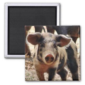 young piglet fridge magnet