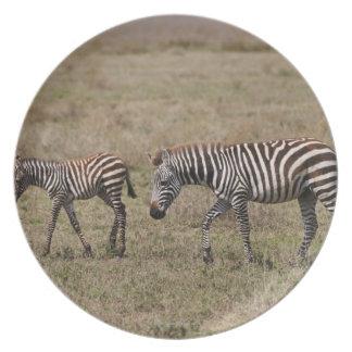 young Plains Zebra with mother, Equus quagga, Dinner Plates