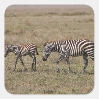 young Plains Zebra with mother, Equus quagga, Square Sticker