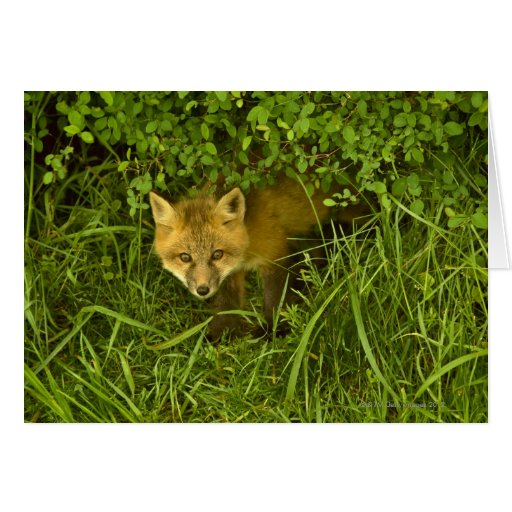 Young Red Fox coming out from hiding in bushes Greeting Cards