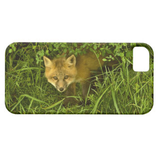 Young Red Fox coming out from hiding in bushes iPhone 5 Cover