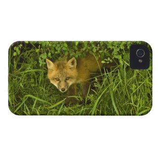 Young Red Fox coming out from hiding in bushes iPhone 4 Covers