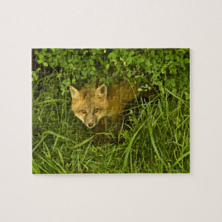 Young Red Fox coming out from hiding in bushes Jigsaw Puzzle