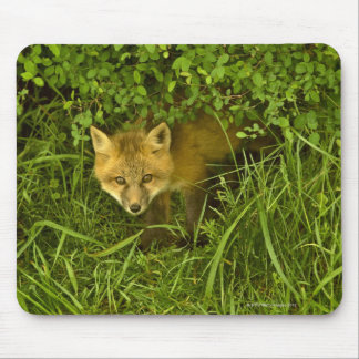Young Red Fox coming out from hiding in bushes Mouse Mat