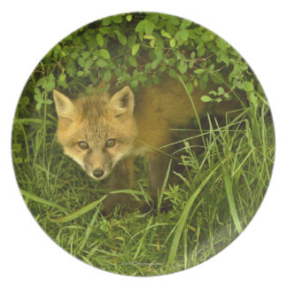 Young Red Fox coming out from hiding in bushes Plate