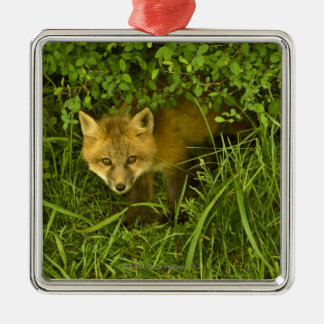 Young Red Fox coming out from hiding in bushes Silver-Colored Square Decoration