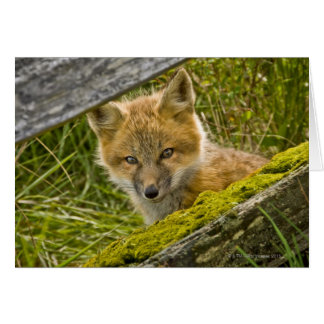 Young Red Fox looking through fence on San Juan Greeting Card