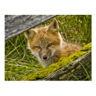 Young Red Fox looking through fence on San Juan Postcard