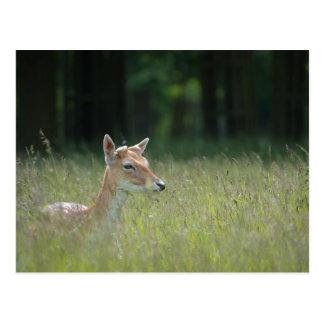 Young Richmond Park deer Postcard