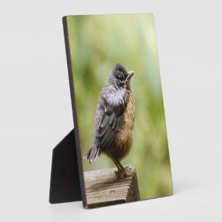 Young Robin Learning To Fly... Taking A Break On Plaques