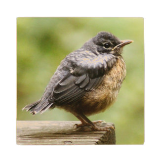 Young Robin Learning To Fly... Taking A Break On Wood Coaster
