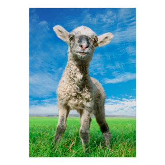 Young sheep poster