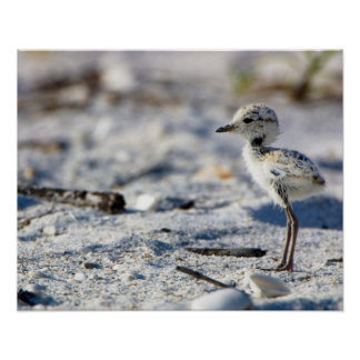 Young Snowy Plovers (Charadrius alexandrinus) Poster