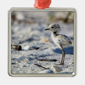 Young Snowy Plovers (Charadrius alexandrinus) Silver-Colored Square Decoration
