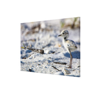 Young Snowy Plovers (Charadrius alexandrinus) Stretched Canvas Print