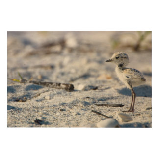 Young Snowy Plovers (Charadrius alexandrinus) Wood Wall Art