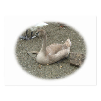 Young Swan ~ postcard