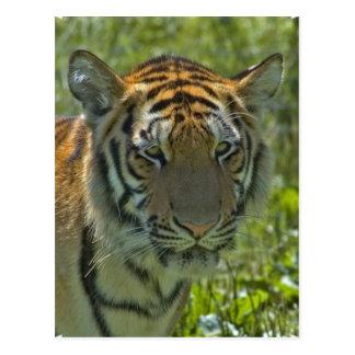 Young Tiger Cub Postcard