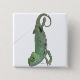 Young veiled chameleon, Chamaeleo calyptratus 15 Cm Square Badge