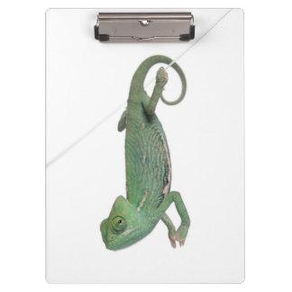 Young veiled chameleon, Chamaeleo calyptratus Clipboard