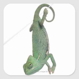 Young veiled chameleon, Chamaeleo calyptratus Stickers