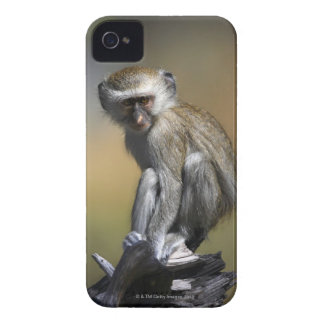 Young Vervet Monkey (Cercopithecus aethiops) in Case-Mate iPhone 4 Cases