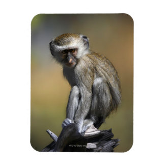 Young Vervet Monkey (Cercopithecus aethiops) in Rectangular Magnets