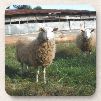 Young White Sheep on the Farm Beverage Coasters