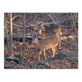 Young Whitetail Deer Series Postcard