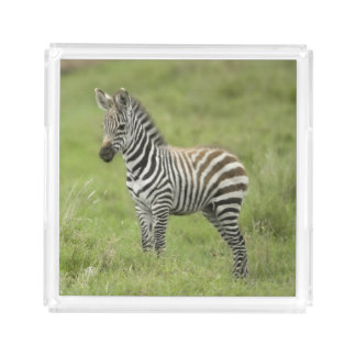 Young Zebra In The Serengeti Plain Acrylic Tray