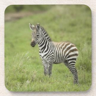 Young Zebra In The Serengeti Plain Coasters