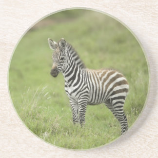 Young Zebra In The Serengeti Plain Drink Coasters