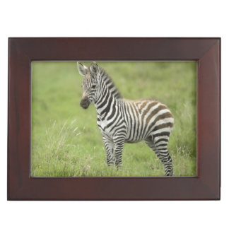 Young Zebra In The Serengeti Plain Keepsake Box