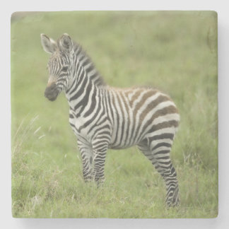 Young Zebra In The Serengeti Plain Stone Coaster