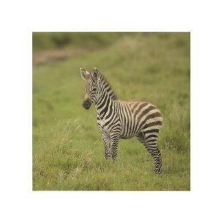 Young Zebra In The Serengeti Plain Wood Print