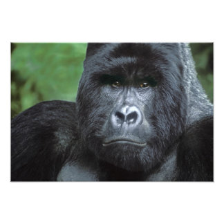 Zaire, Virungas National Park. Portrait of Art Photo
