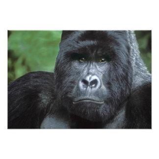 Zaire, Virungas National Park. Portrait of Photographic Print