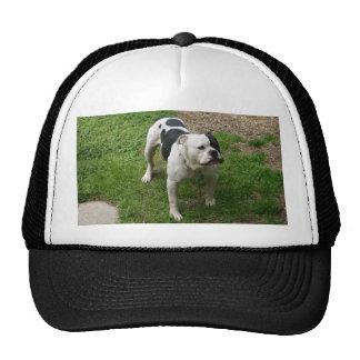 Zane - American Bulldog! Cap