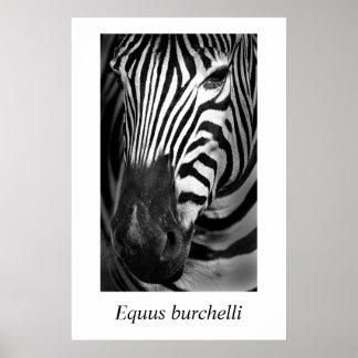 Zebra #1 Equus burchelli Poster