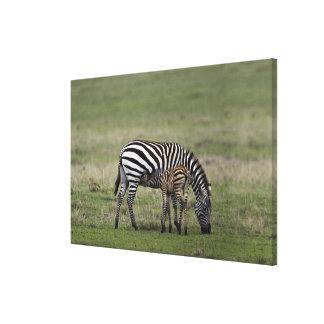 Zebra and nursing foal, Tanzania Stretched Canvas Print