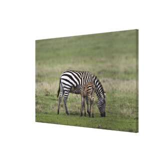Zebra and nursing foal, Tanzania Canvas Print