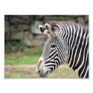 Zebra animal photographic print