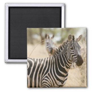 Zebra at the Meru National Park, Kenya. Magnet