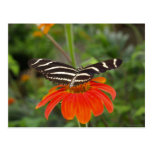 Zebra butterfly Postcard